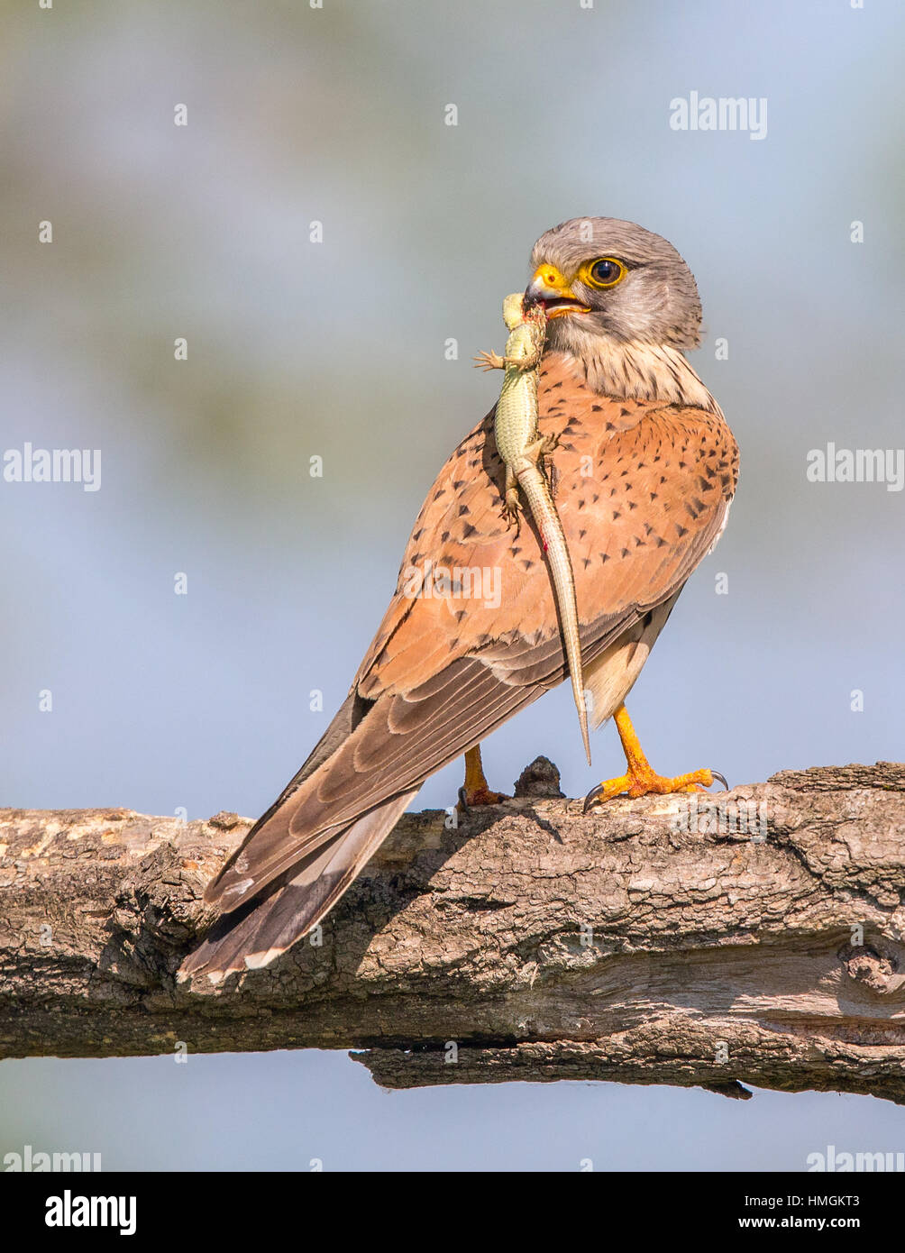 Female Common Kestrel (Falco tinnunculus) perching on a branch - Stock Image