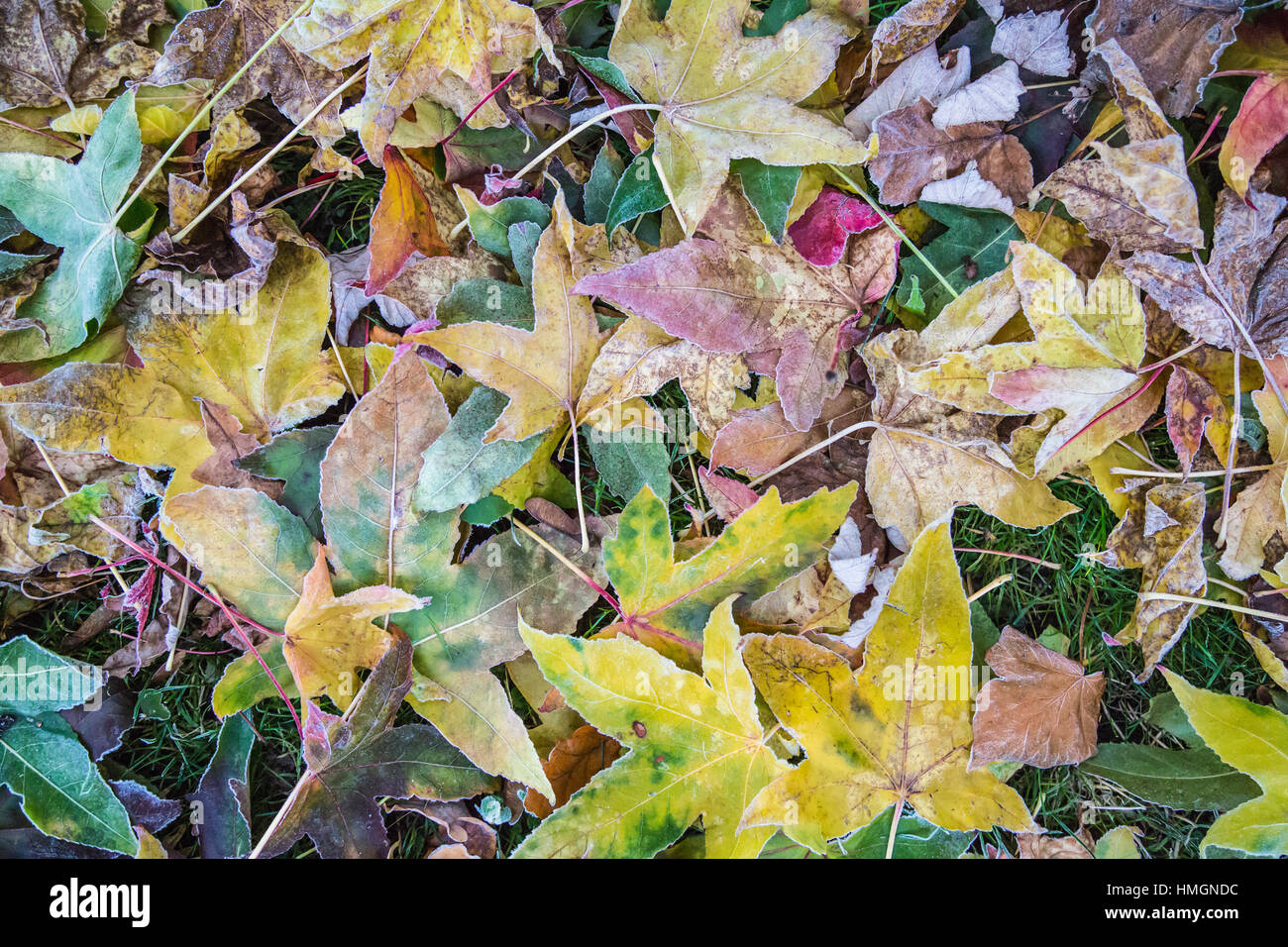 Fallen maple leaves on the ground in a rainbow of colours. There is frost around their edges. They a curly and crispy. - Stock Image
