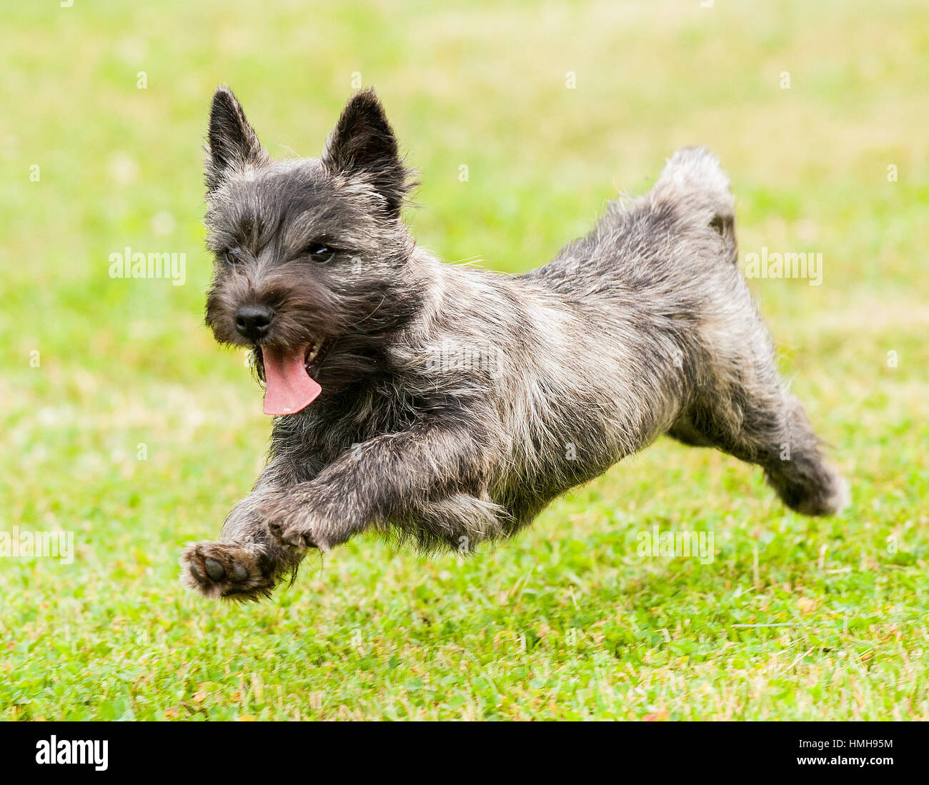 Adorable Cairn Terrier Puppy Dog Running Playing Frolicking Outside