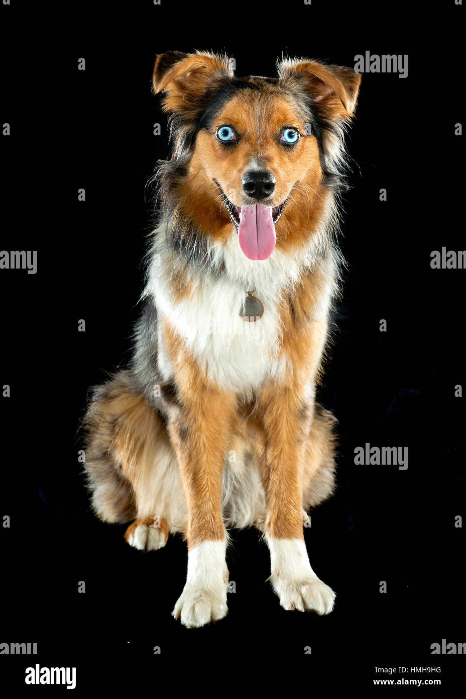 Gorgeous blue eyed Autralian Shepard tri-color Aussie merle sitting facing camera, looking at camera, tongue out, - Stock Image