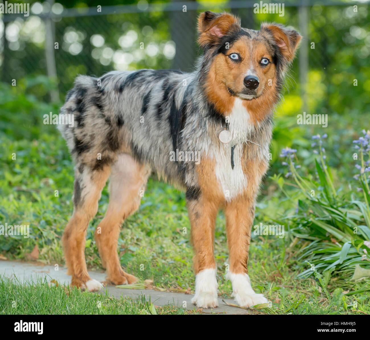 Beautiful Blue Eyed Tri Color Merle Australian Shepherd