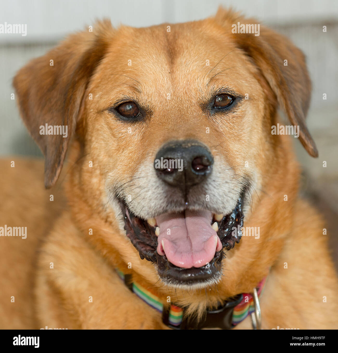 Handsome mixed breed red brown dog floppy ears and smiling at camera - Stock Image