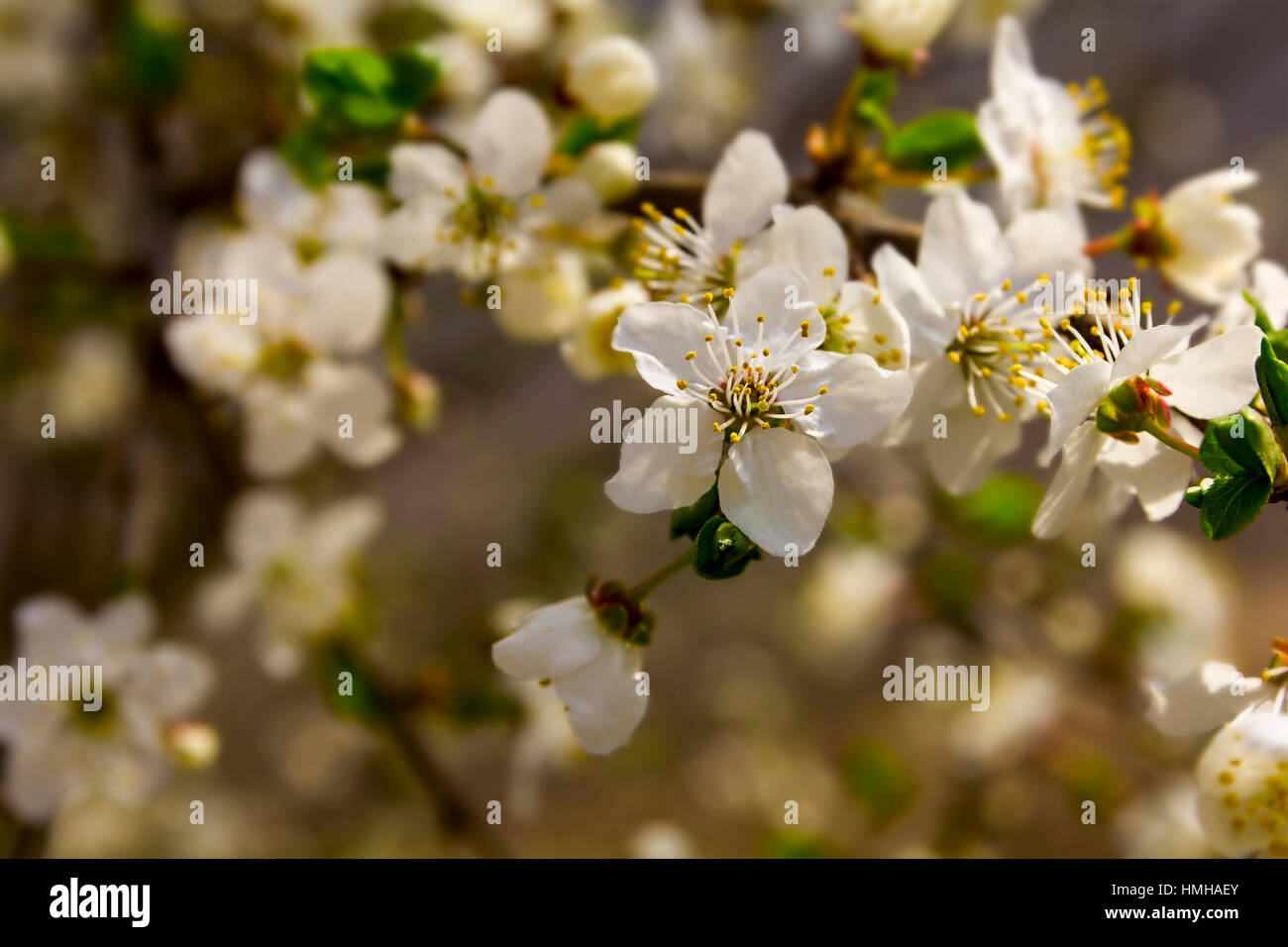 Beautiful Flowering Apple Trees Background With Blooming Flowers In