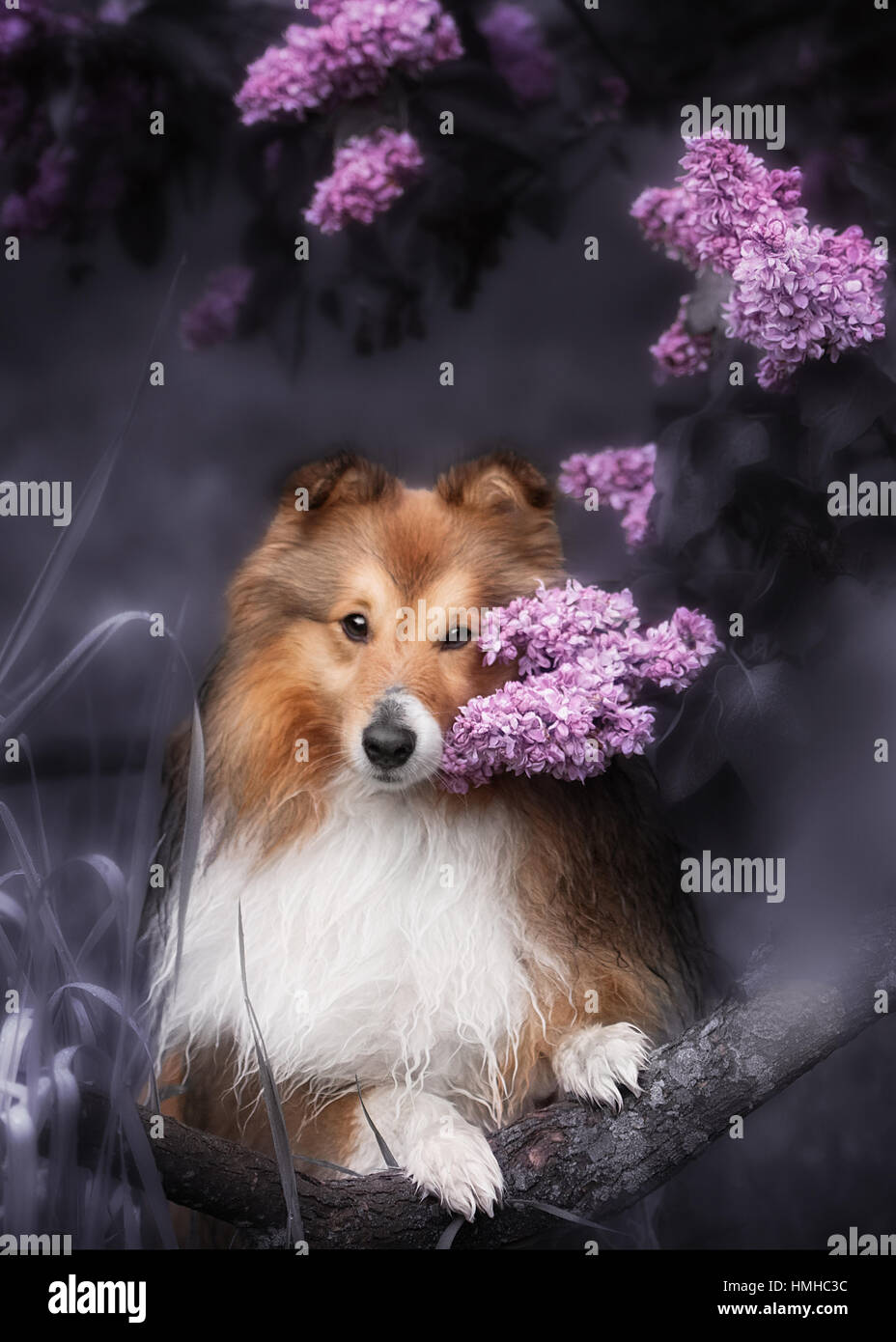 Cute little Sheltie dog with a bouquet of flowers Stock Photo ...