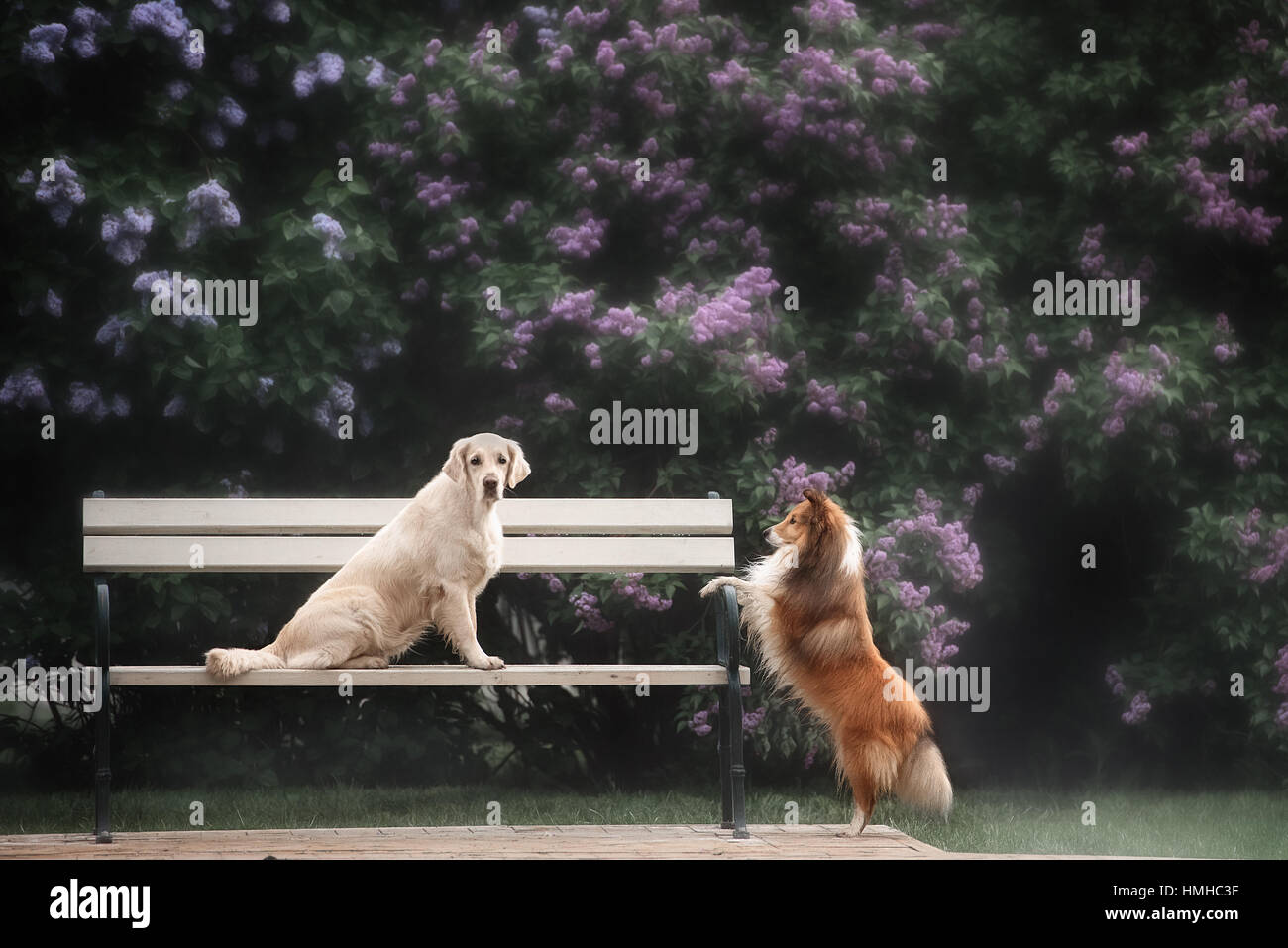 the love story of two dogs - Stock Image