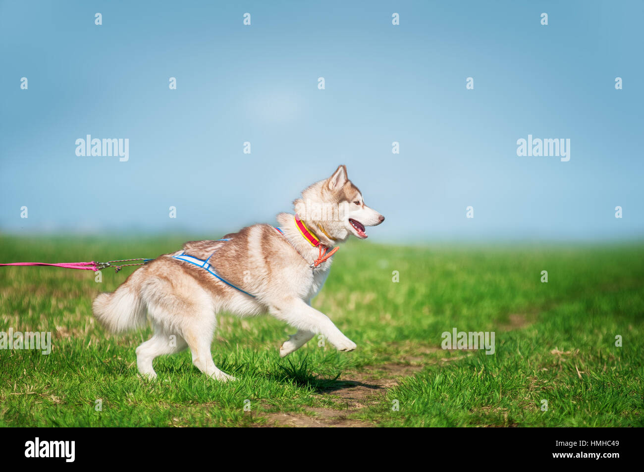 Siberian Husky Light Red And White Colors Jumping On Grass Stock