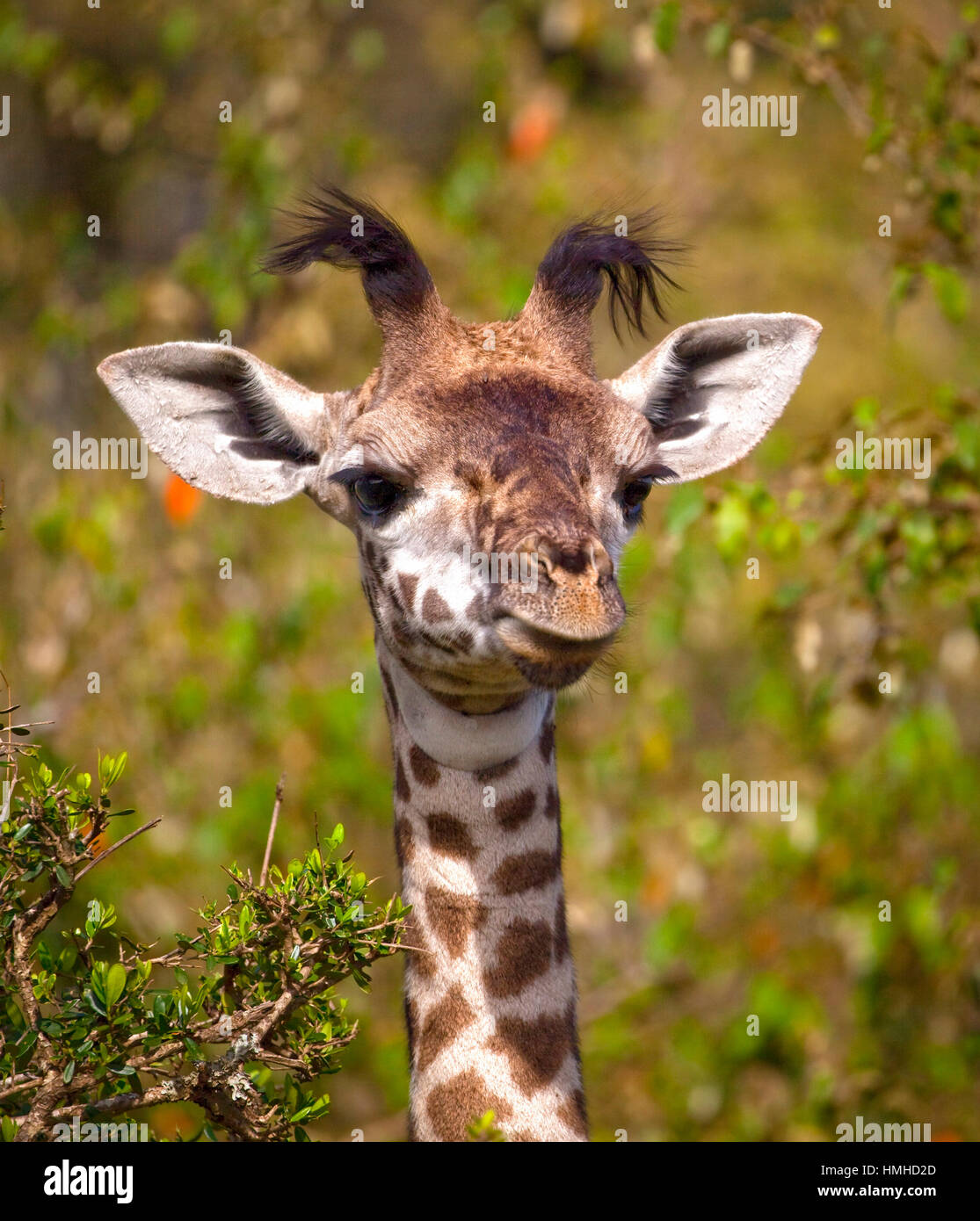 Adorable baby giraffe looking silly with foliage in background in Kenya - Stock Image
