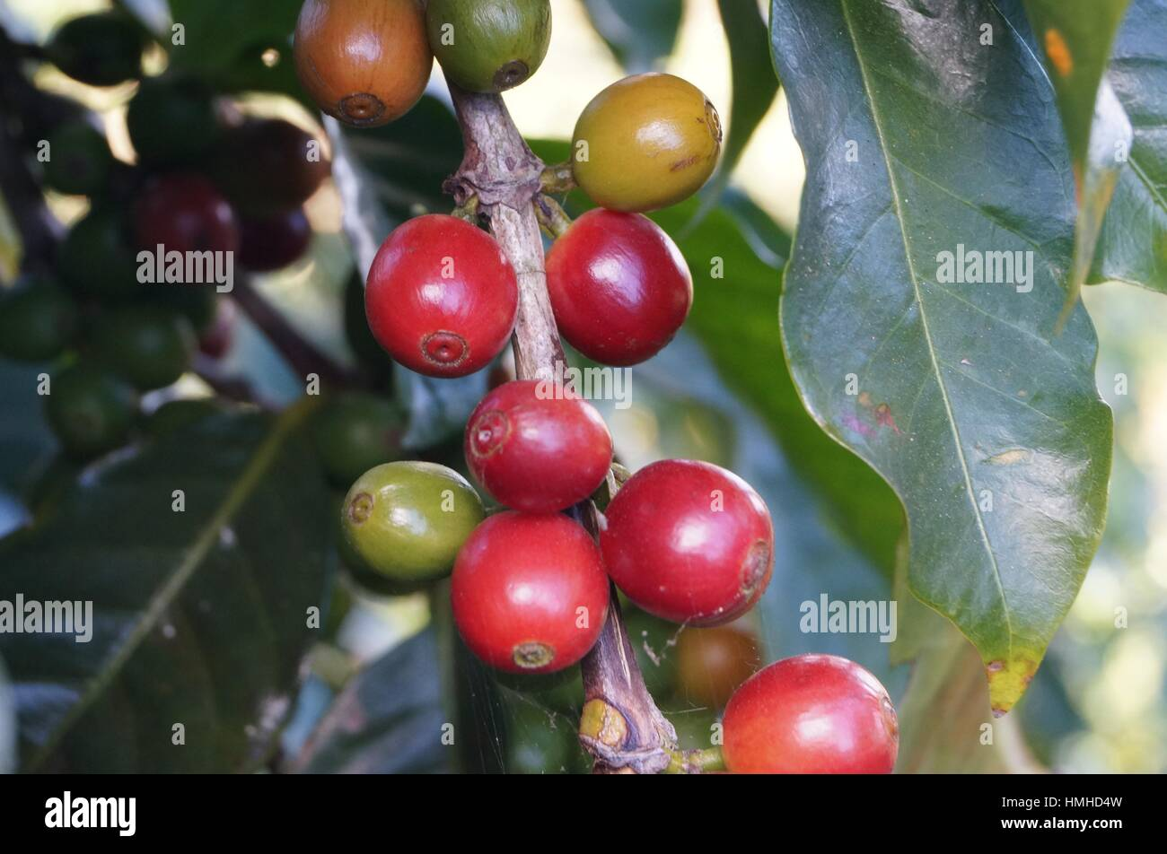 Coffee plant - Stock Image