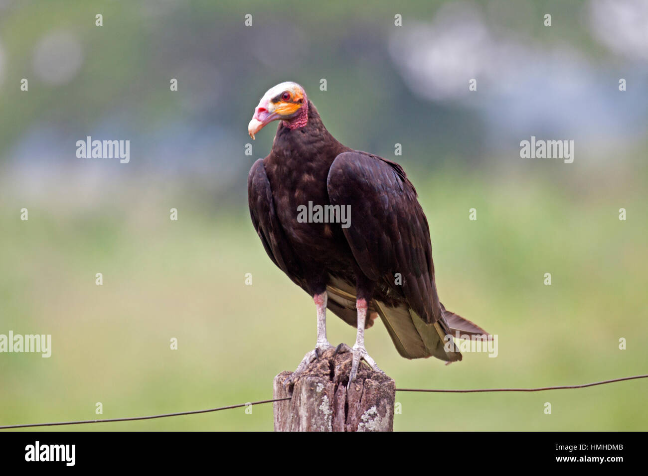 Lesser yellow headed vulture in Brazil Stock Photo