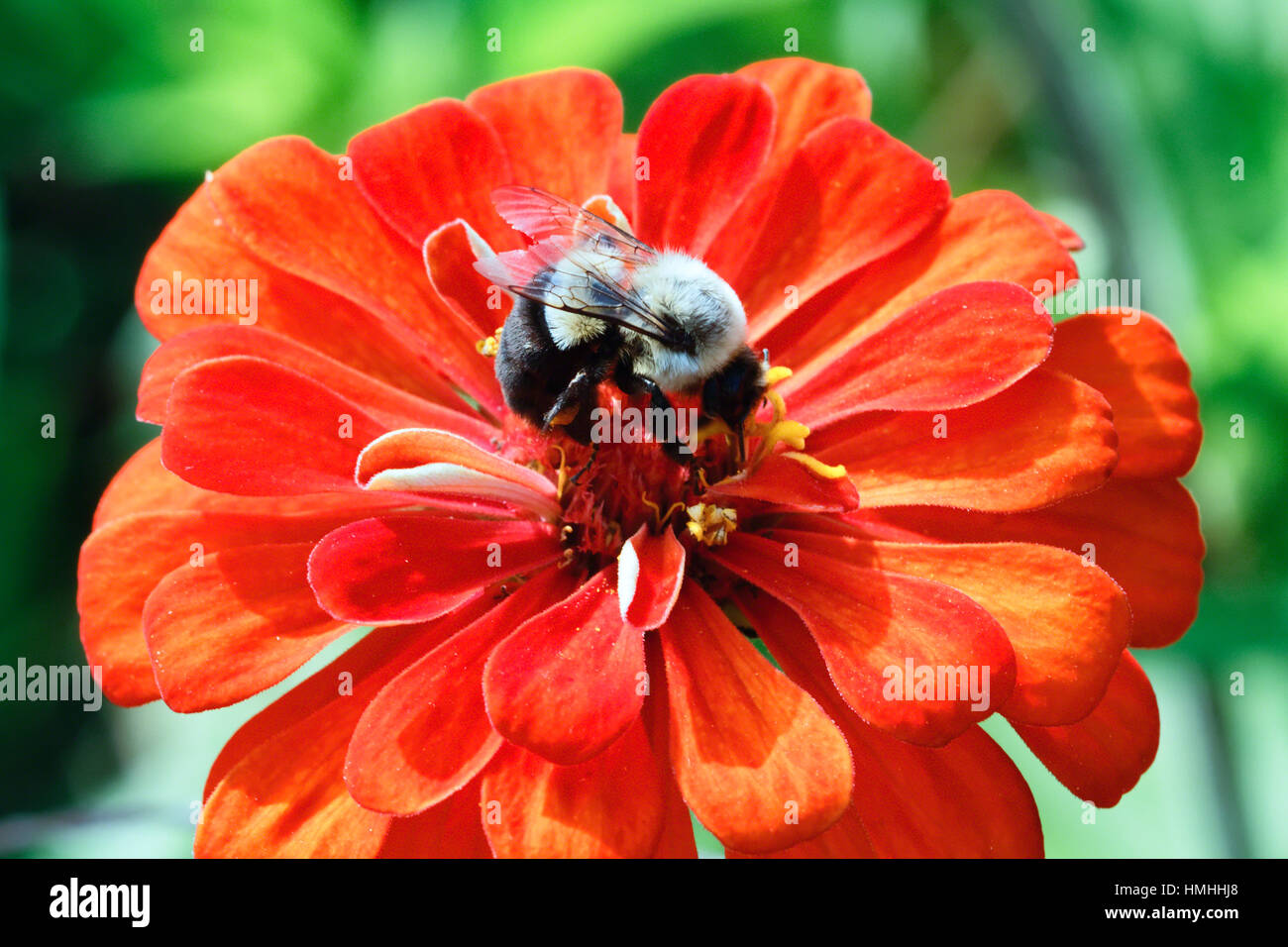 Close Up View of a Honey Bee Pollenating a Red Zinnia Flower - Stock Image