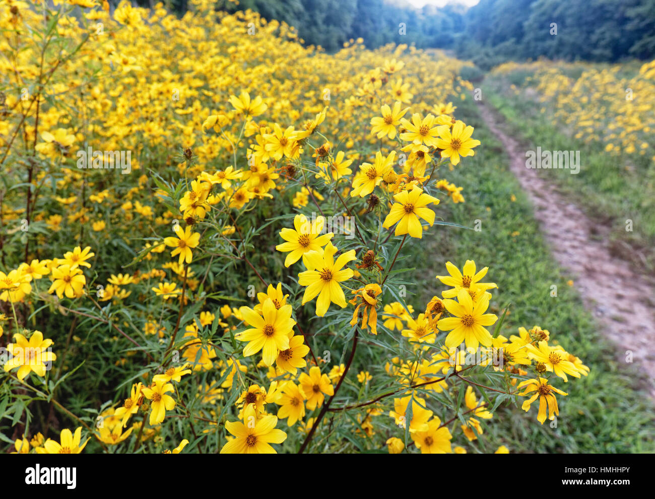 Close Up View of Yellow Wildflowers Blooming in a Meadow, New Jersey - Stock Image