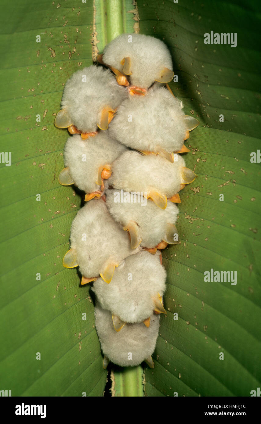 White Tent Bats (Ectophylla alba) roosting under heliconia leaf. Braulio Carrillo National Park, Caribbean slope, - Stock Image