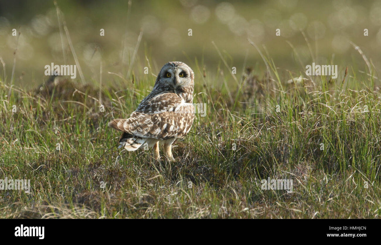 A stunning Short-eared Owl (Asio flammeus) perched on the ground in the grass with a Vole in its talons. - Stock Image