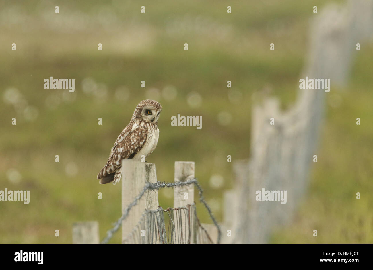 A stunning Short-eared Owl (Asio flammeus) sitting on a fence post . - Stock Image