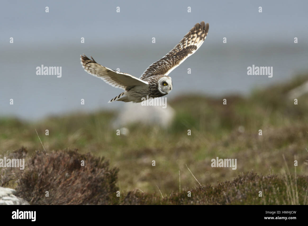 A stunning Short-eared Owl, (Asio flammeus), in flight searching for food over the moors on North Uist, Scotland. - Stock Image
