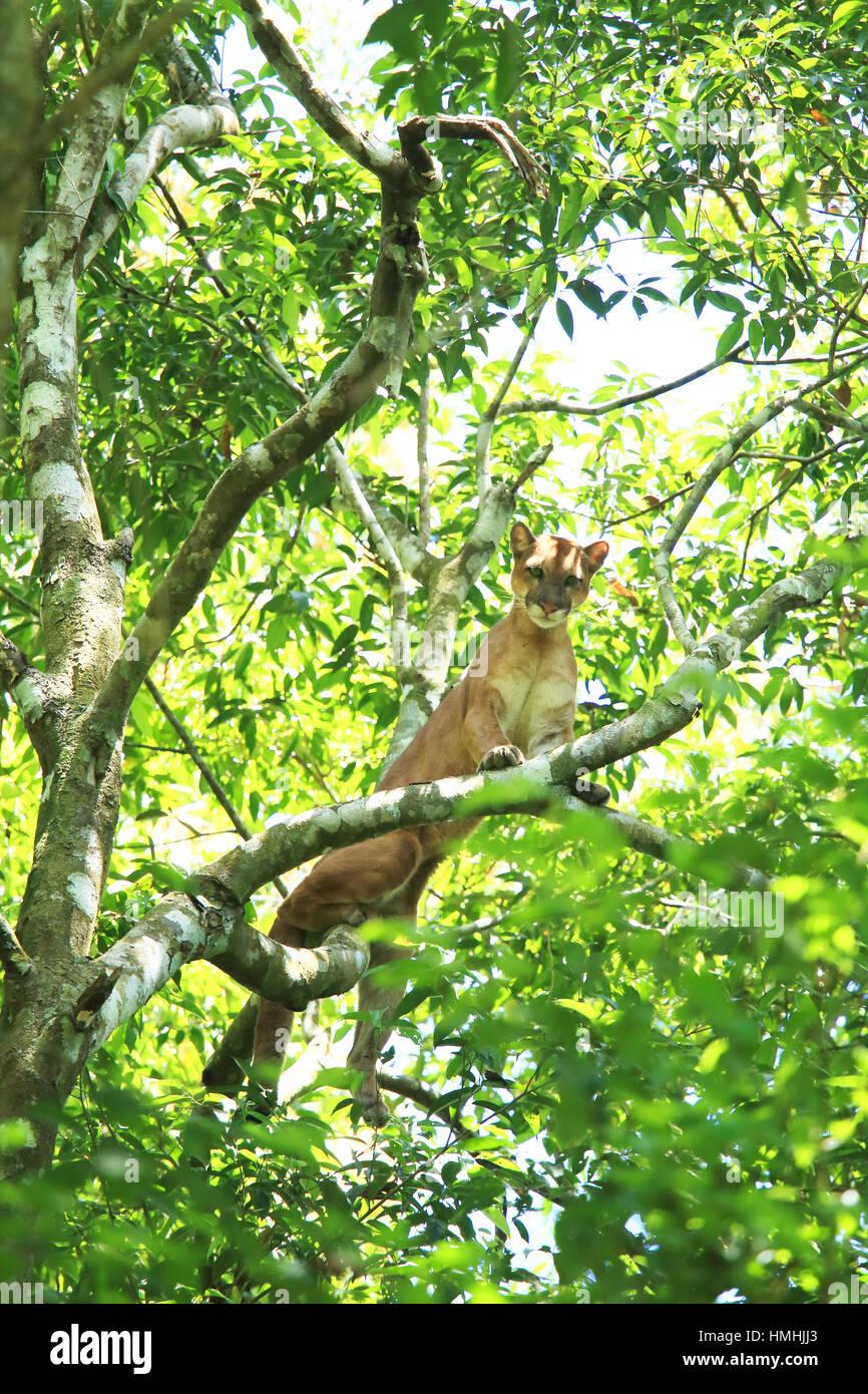Wild puma (puma concolor) climbing in a tree. Sirena, Corcovado National Park, Osa, Costa Rica. - Stock Image