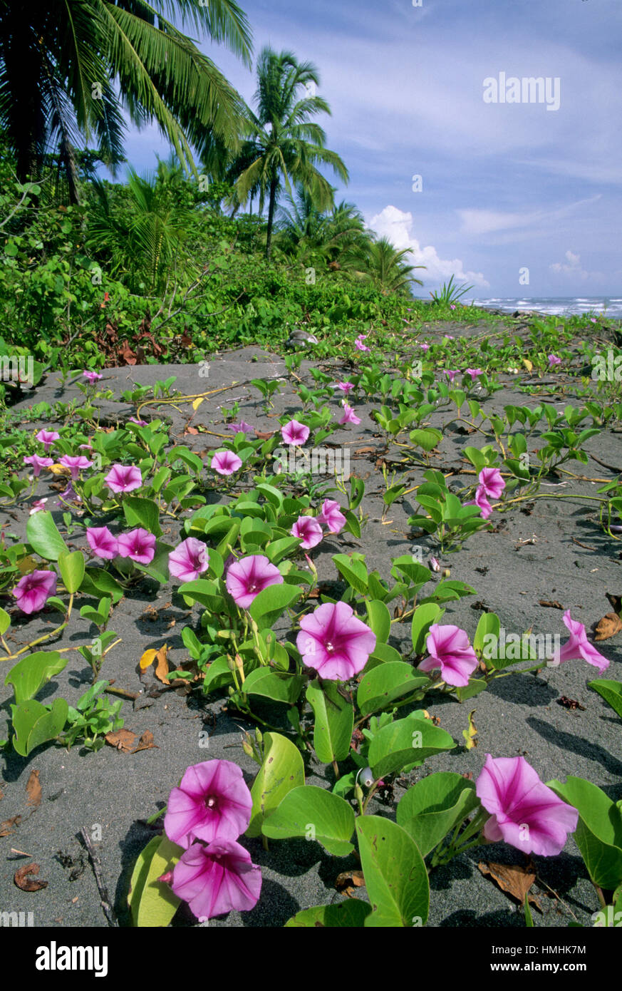 Beach Morning Glory Flowers Ipomoea Pes Caprae Early Morning In