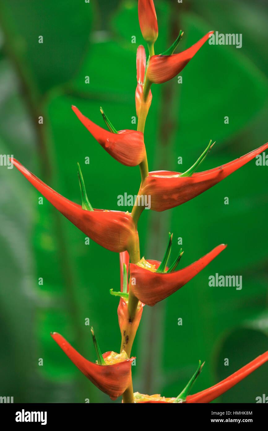 Heliconia latispatha, La Selva Biological Station, Lowland Rainforest, Caribbean slope, Costa Rica - Stock Image