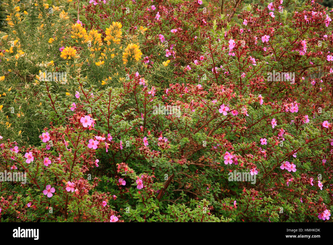 Melastoma of the Volcanoes flowers (Monochaetum vulcanicum) and yellow Common Gorse (Ulex Europaeus) close to the - Stock Image