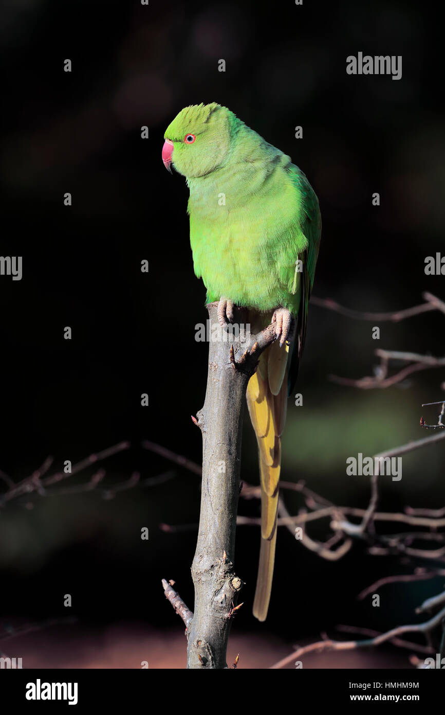Ring-Necked Parakeet, (Psittacula krameri), adult on tree, Mannheim, Germany, Europe Stock Photo