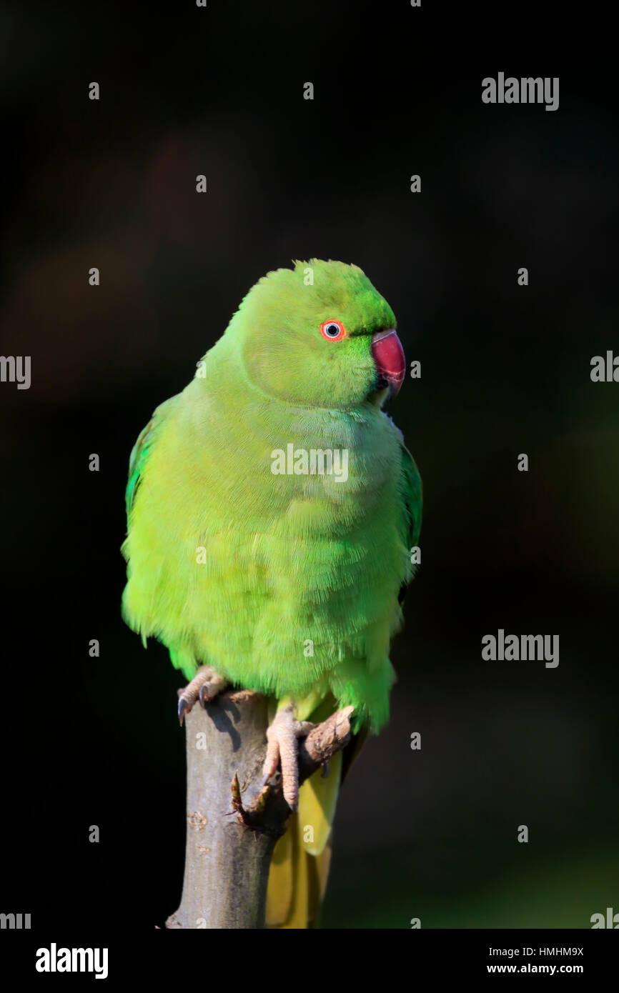 Ring-Necked Parakeet, (Psittacula krameri), adult on tree, Mannheim, Germany, Europe Stock Photo