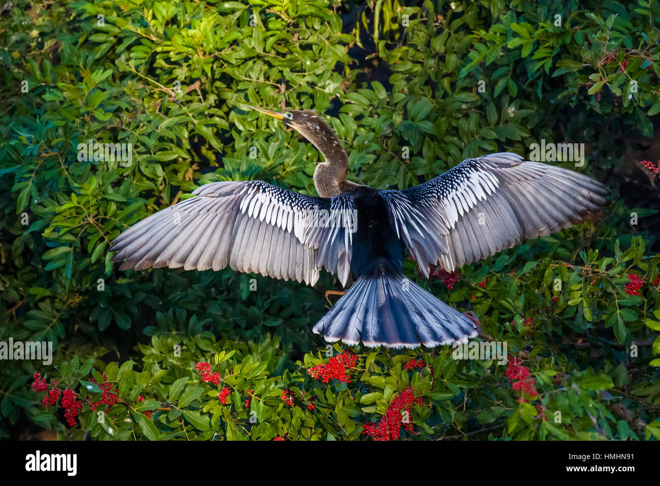 Anhinga dring his wings at Venice Rookery in Venice FLorida - Stock Image