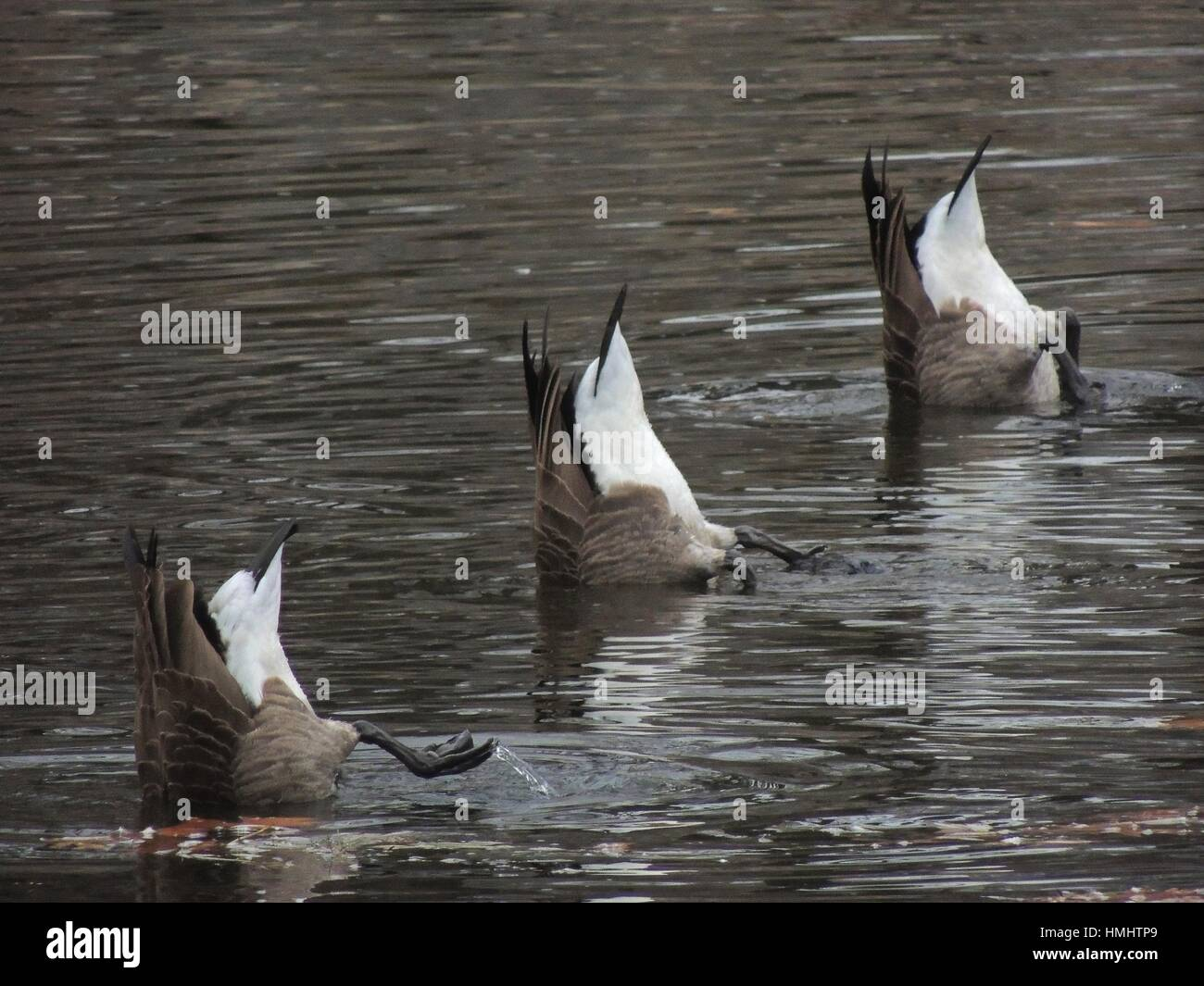 Three geese put their bottoms in the air to search for food beneath the surface of a stream, Pennsylvania, USA. - Stock Image