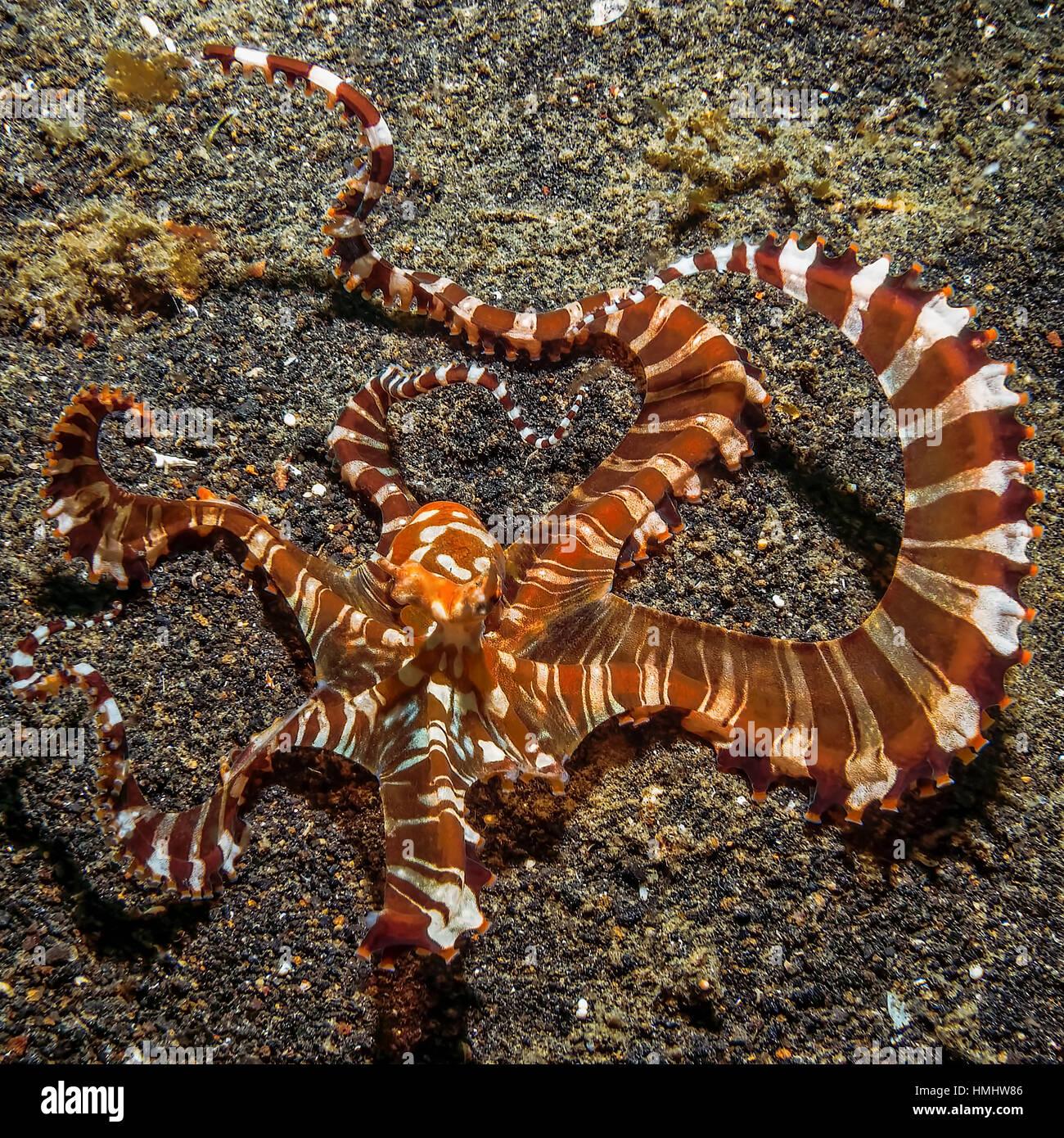 mimic octopus on the ocean floor - Stock Image