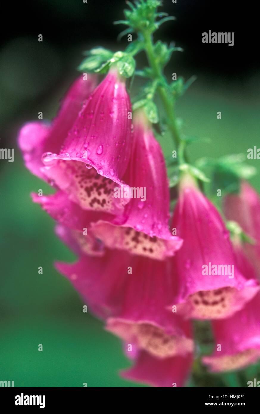 Digitalis purpurea var. carrigliath, Merrickville, Ontario, Canada. - Stock Image