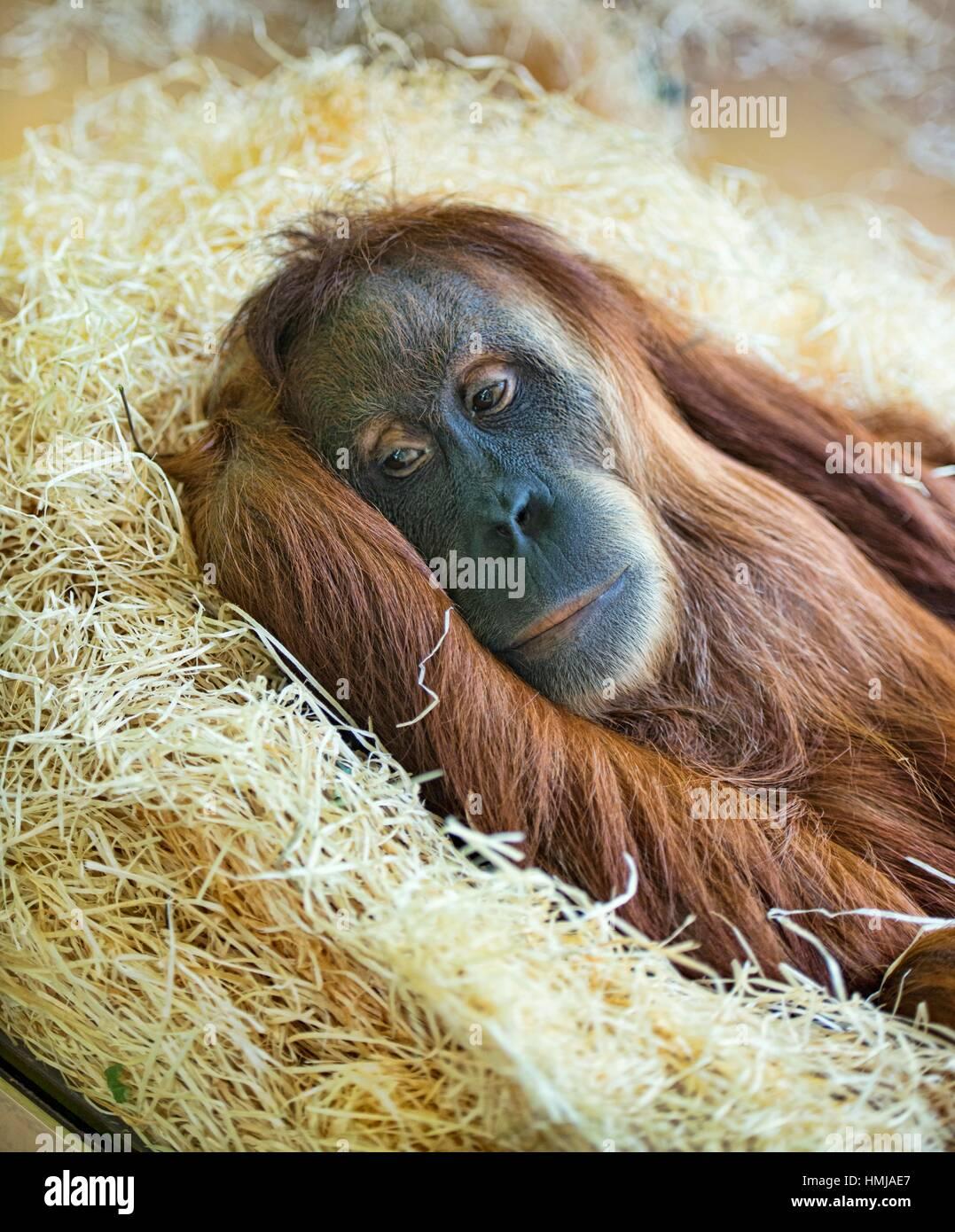 Sumatran orangutan (Pongo abelii) at rest. Stock Photo