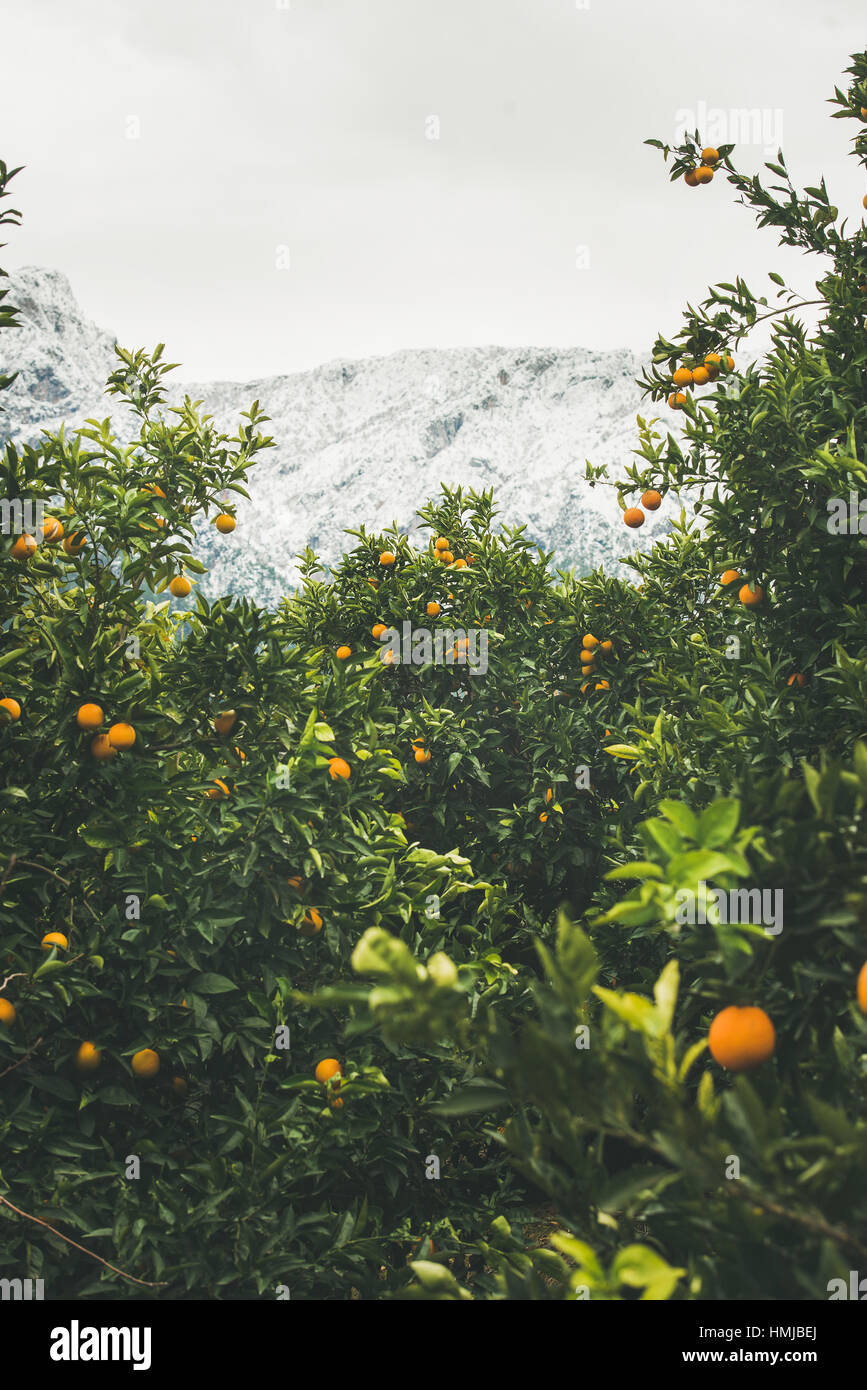 Trees with oranges in mountain garden, Dim Cay district, Alanya - Stock Image
