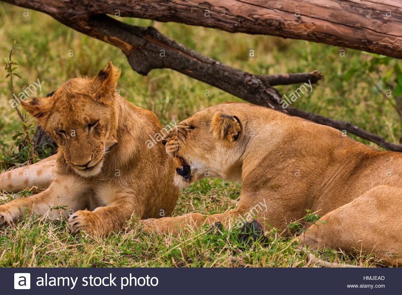 Lioness snarling at her cub. Masai Mara National Reserve, Kenya - Stock Image