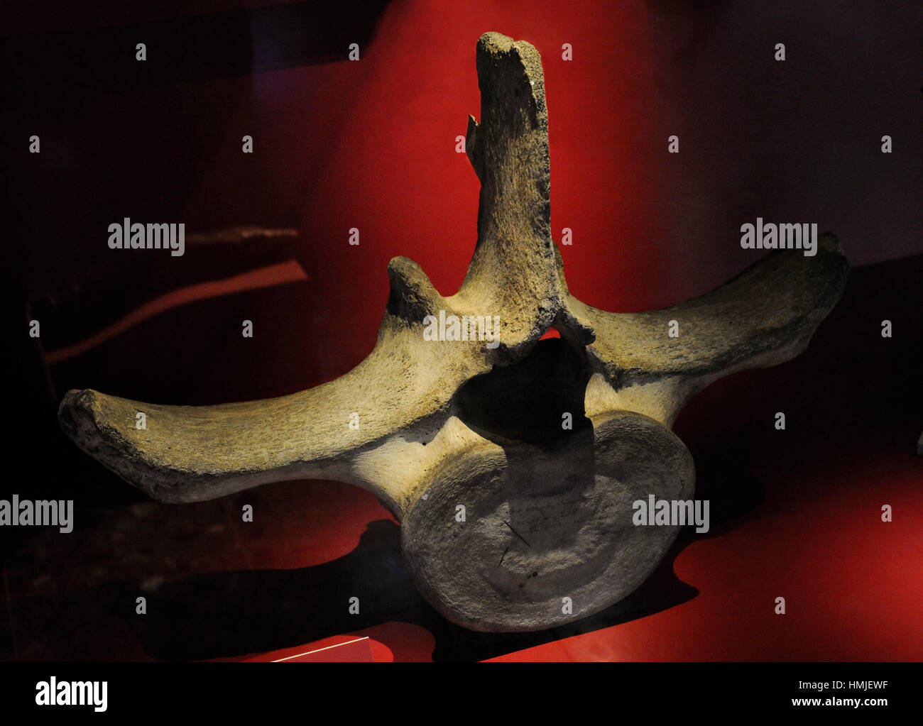 Blue Whale (Balaenoptera musculus). Vertebra. Maritime and Science Museum. Malmo. Sweden. - Stock Image