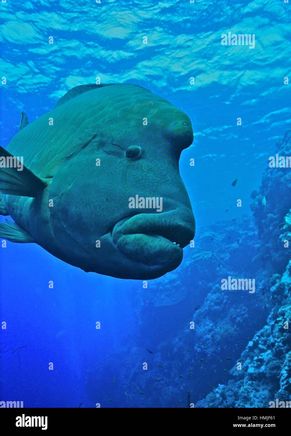 The humphead wrasse (Cheilinus undulatus) is listed as endangered in the IUCN Red List of Threatened Species. Photographed - Stock Image