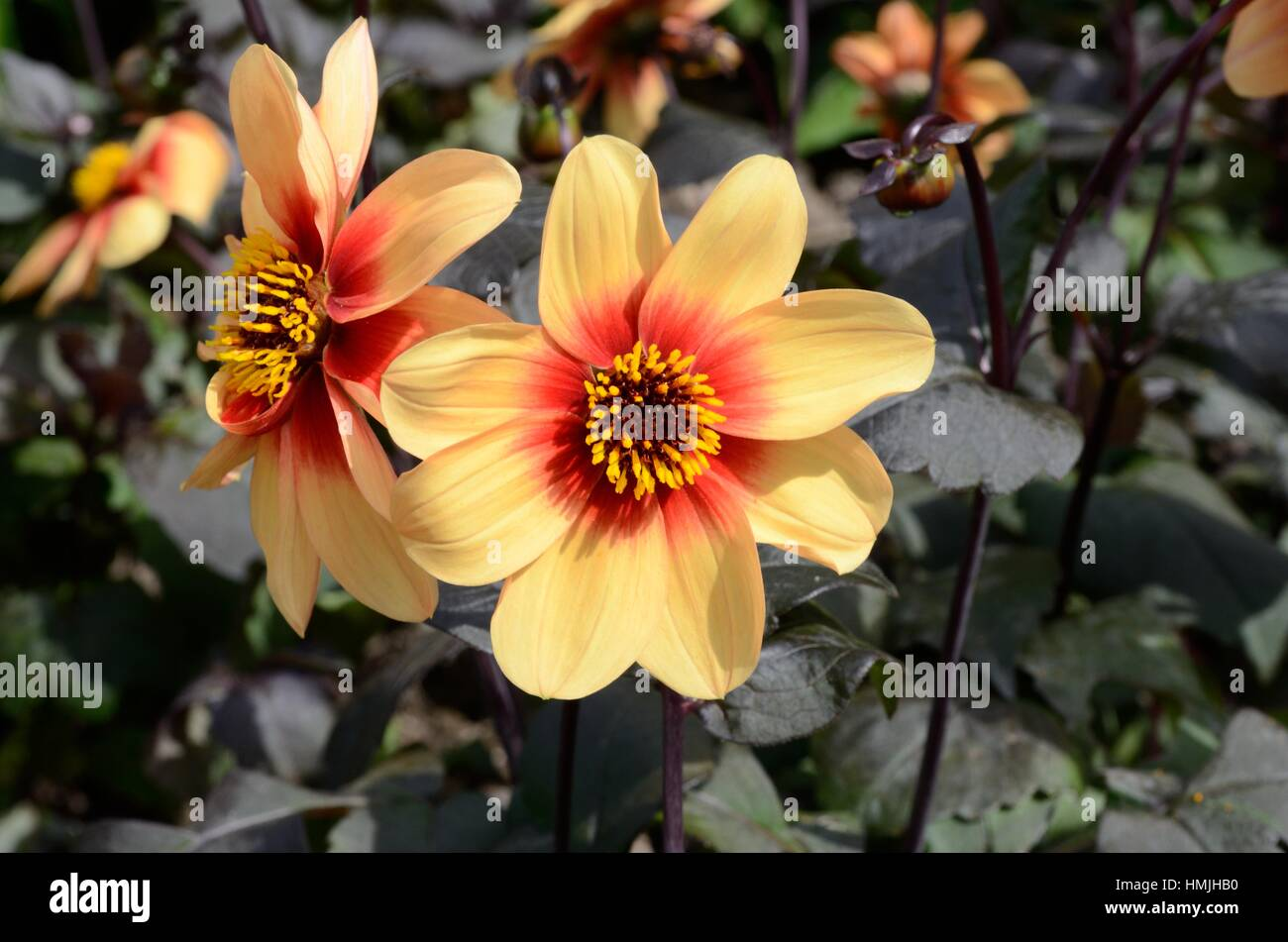 Dahlia Moonshine flowers flower yellow petals with red gentre - Stock Image