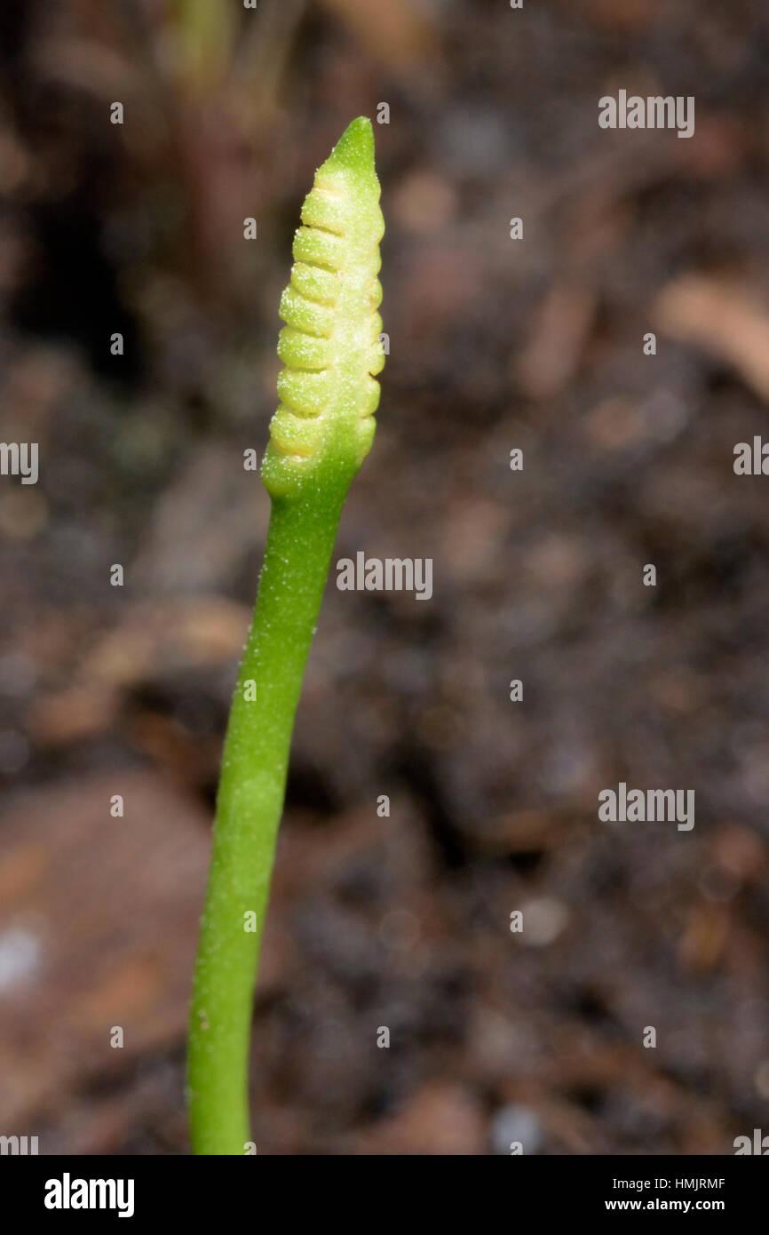 Small Adder's-tongue, Ophioglossum azoricum - Stock Image
