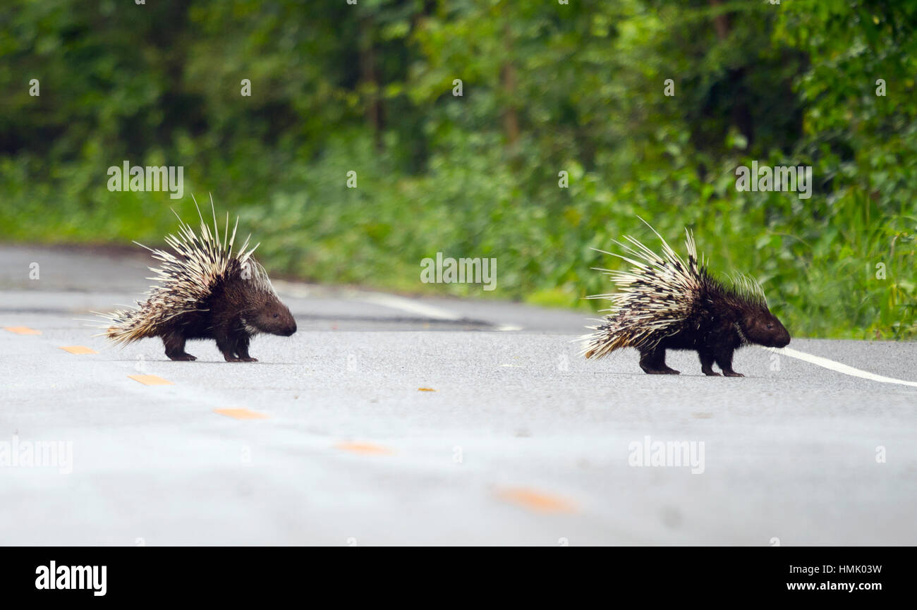 Old world porcupines crossing road (Hystrix brachyura), Kaeng Krachan National Park, Phetchaburi, Thailand - Stock Image