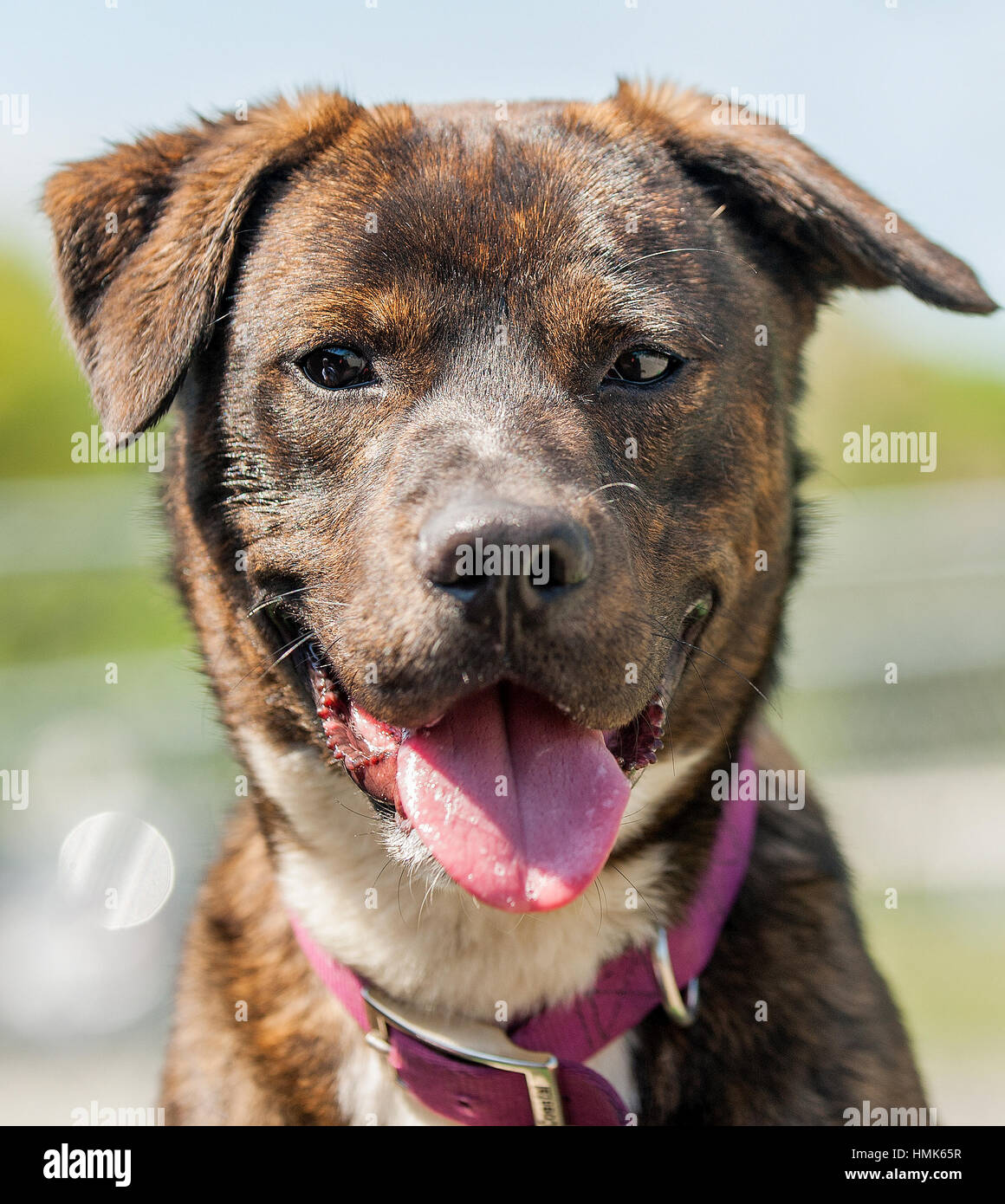Brindle shelter mixed breed mutt dog headshot close up looking at camera with mouth open - Stock Image