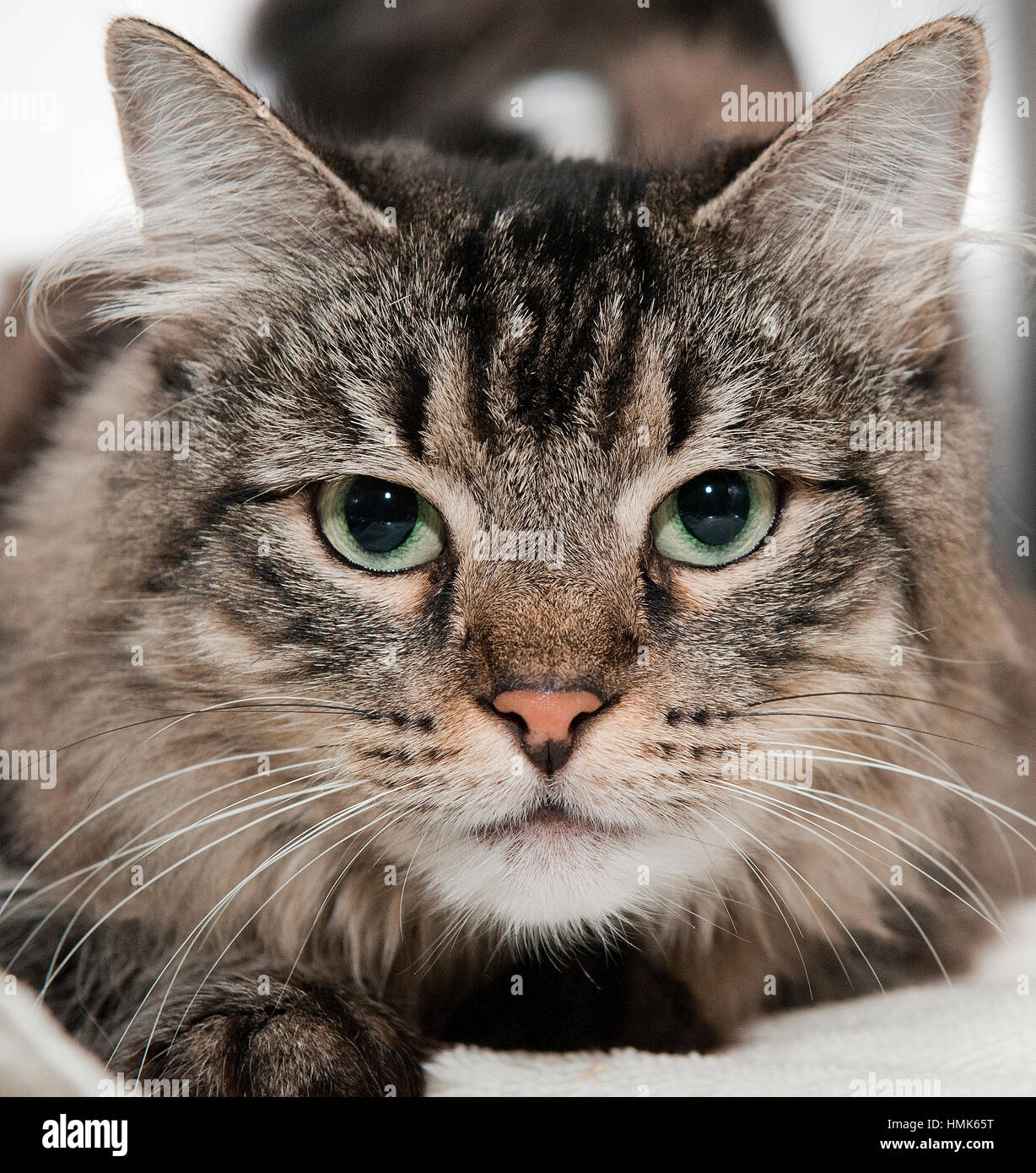 Gray Tiger Cat With Brown Eyes