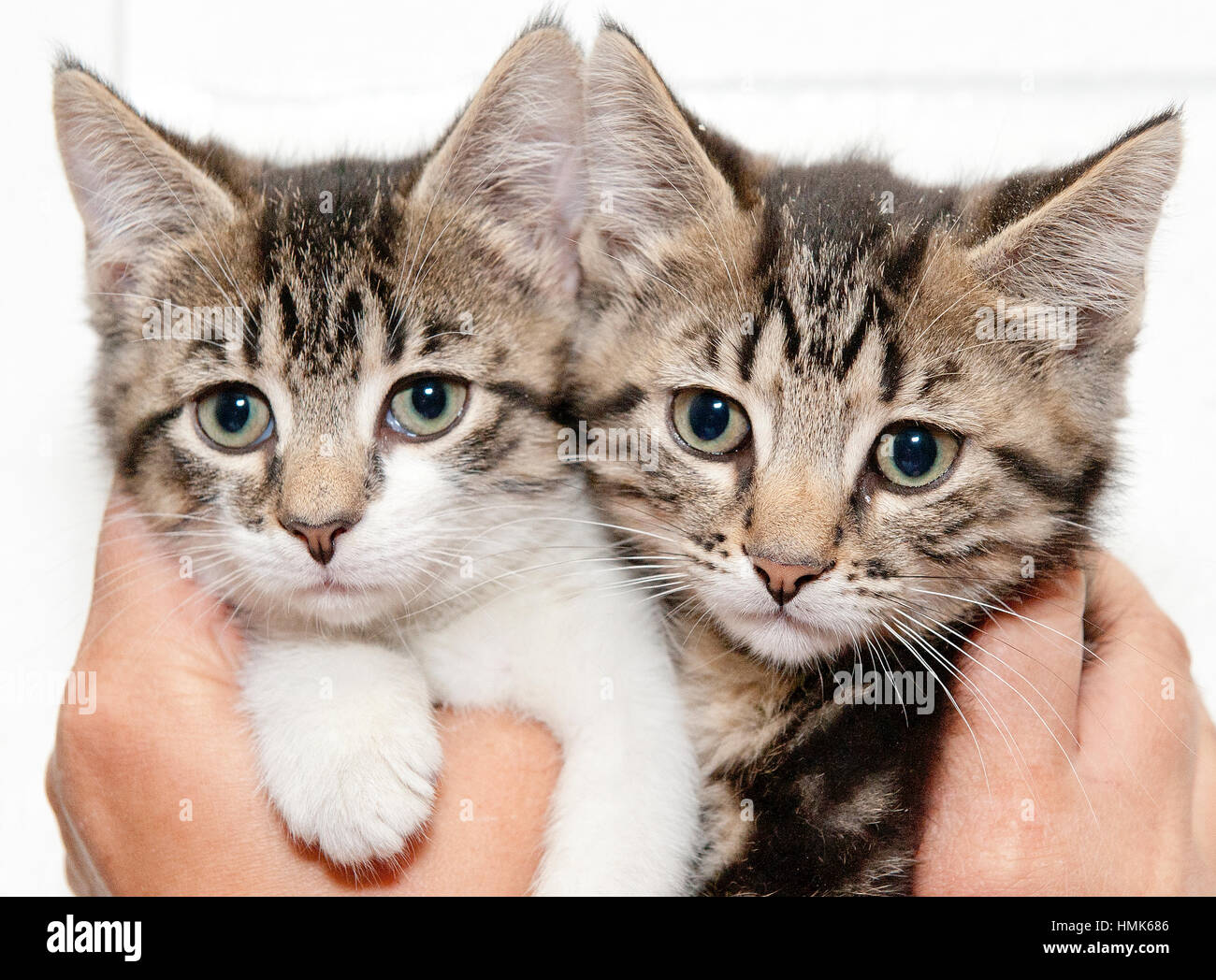 Two adorable grey tiger kittens in someone's hands close up - Stock Image