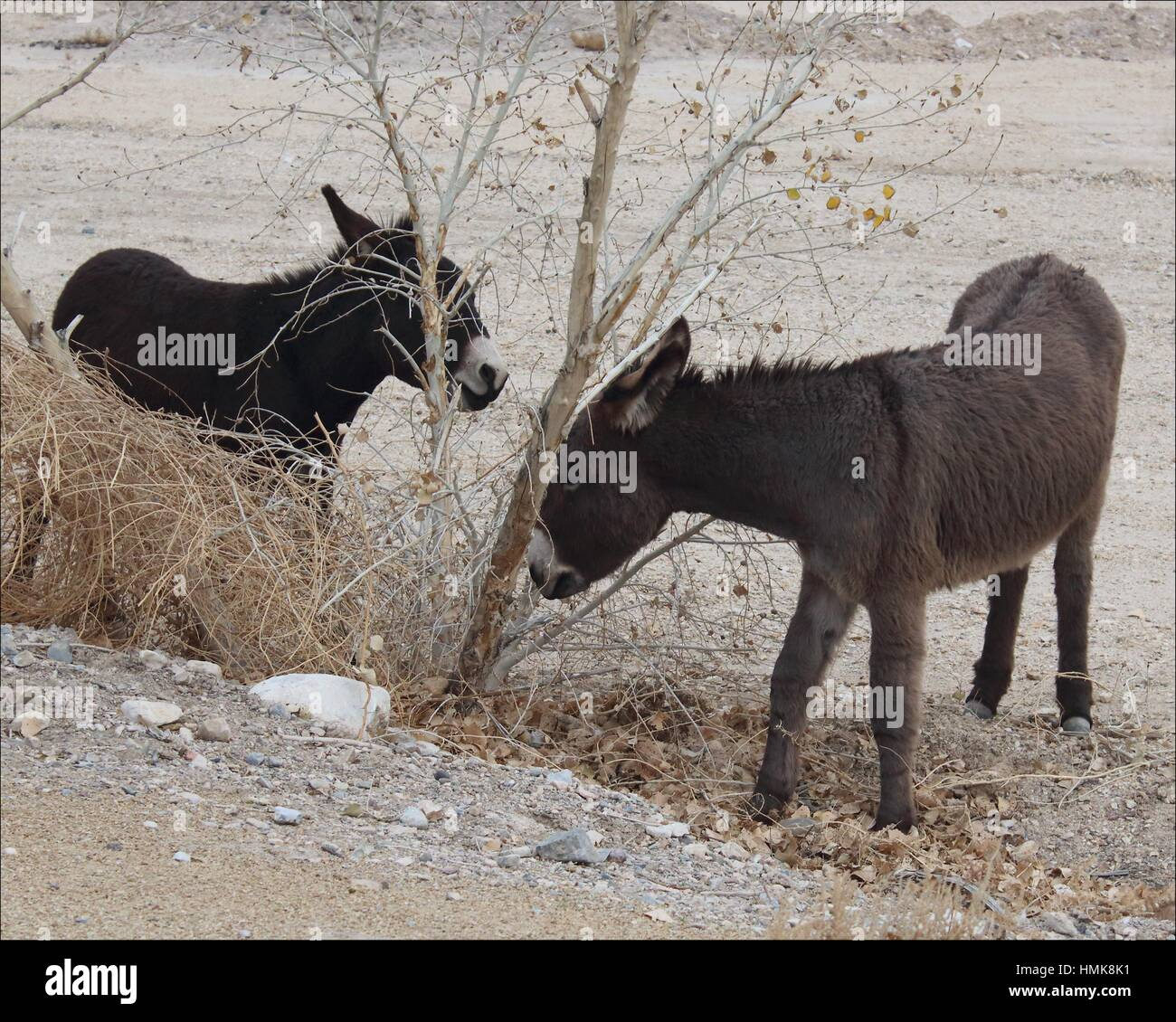 Wild burros left over from gold mining days wander along the road eating small trees in Beatty, Nevada, USA - Stock Image