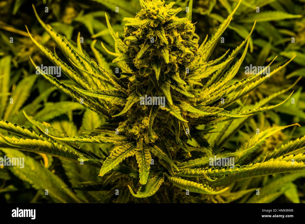 Island sweet skunk strain (sativa), Marijuana flowering Grow room, Sticky Buds, Denver, Colorado USA. - Stock Image