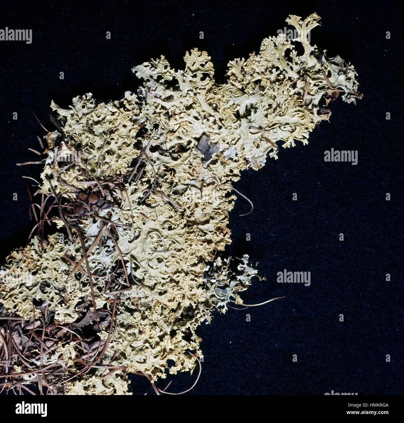 Ballroom Dervish (Flavocetraria nivalis), Parmeliaceae. - Stock Image