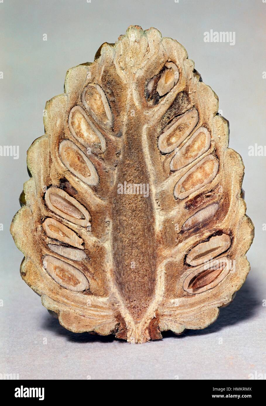 Strobilus or cone of gymnosperms in section. - Stock Image