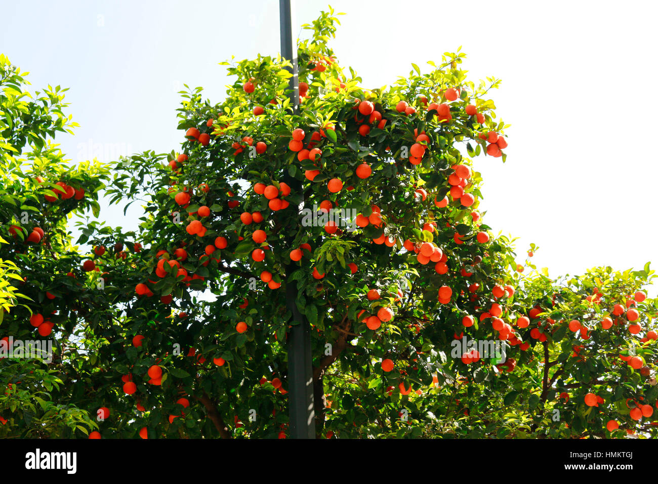 Orangen an Orangenbaum, Athen, Griechenland. Stock Photo