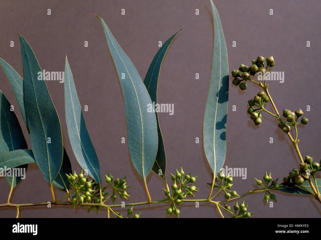 Eucalyptus branch and leaves (Eucalyptus globulus), Myrtaceae. - Stock Image