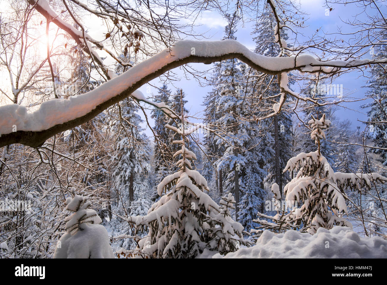 Tree branch laden with snow in coniferous spruce forest in winter at sunset - Stock Image