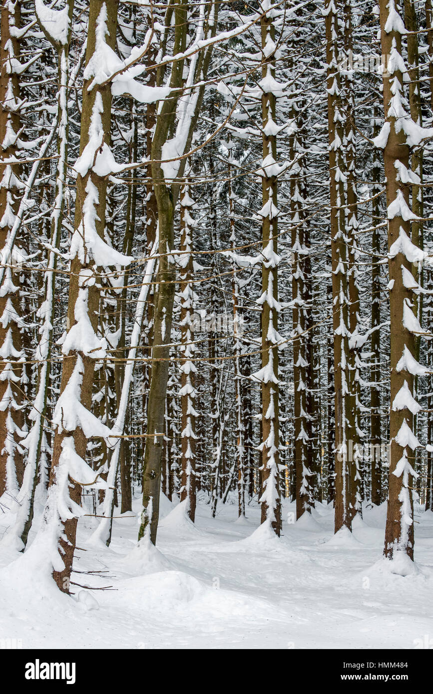 Norway spruce trees (Picea abies) in coniferous forest showing trunks and branches covered in snow in winter - Stock Image