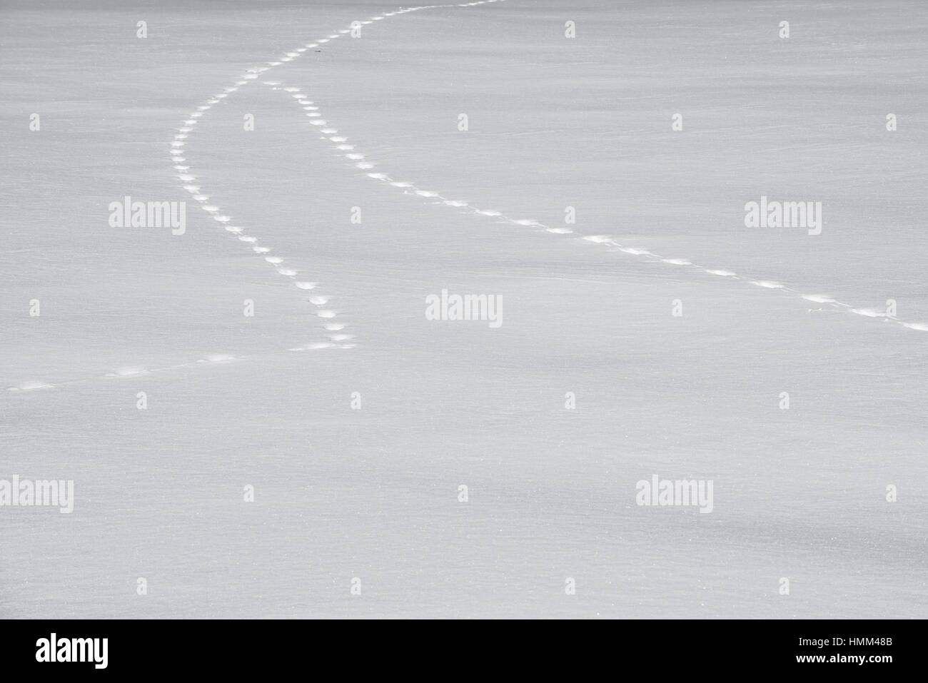 Two animal tracks merging in snow covered field in winter - Stock Image