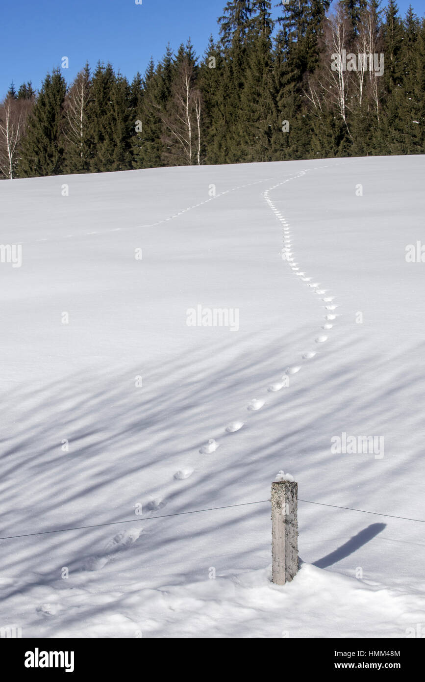 Two animal tracks merging in snow covered field leading to forest in winter - Stock Image